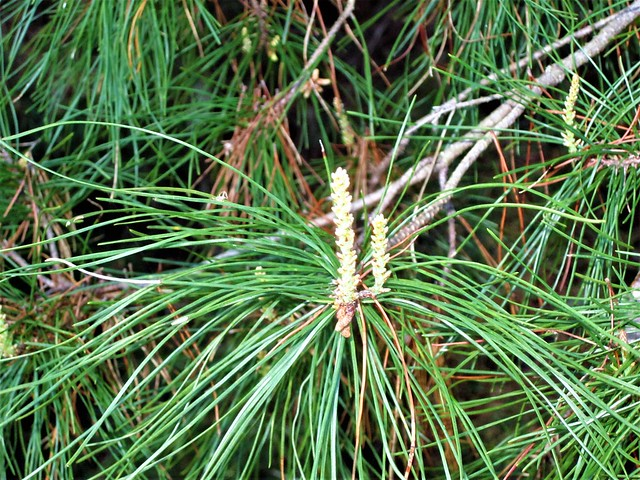 Pinus elliottii --  Slash Pine Tree in flower 0979
