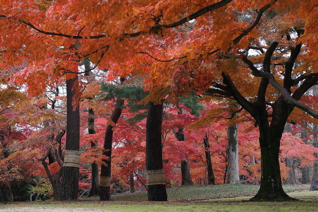 Red Momiji Forest