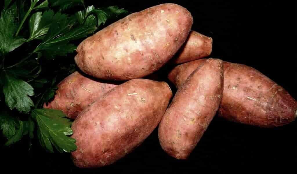 La patate douce avertit ses voisins des attaques d'insectes