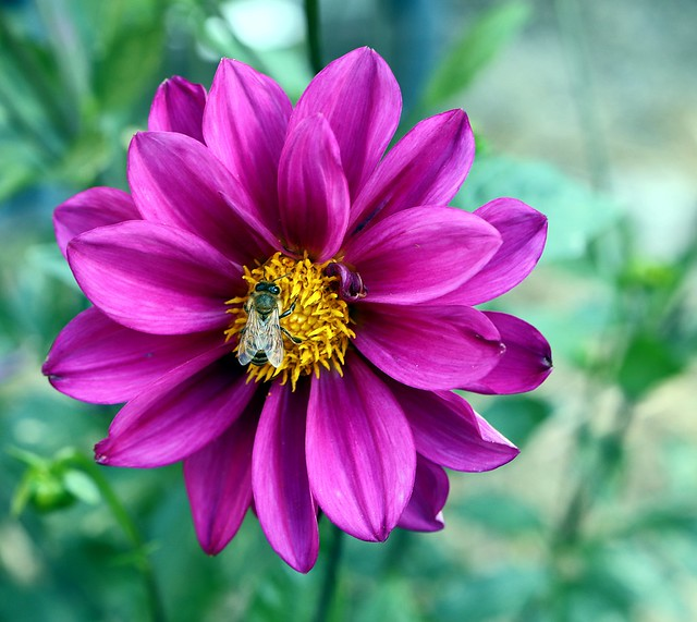 'Double Extreme' dahlia. A truly grape performer. Richly colored flowers in unique sunset shades comprise this memorable mix.