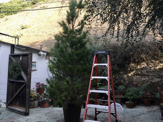 the Monterey pine, year three