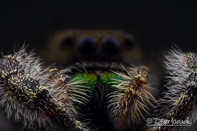 The Daring Jumping Spider - Phidippus audax