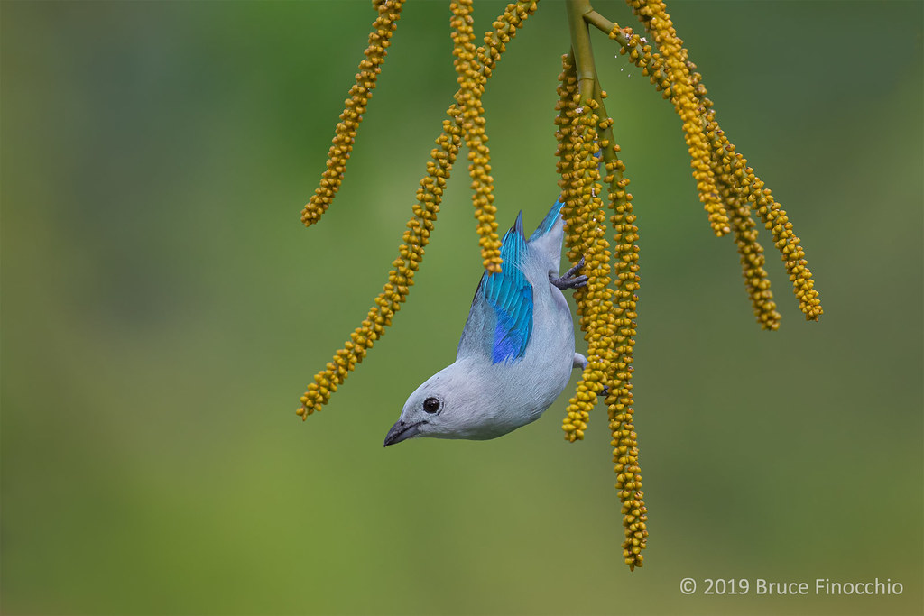 Blue-gray Tanager Hanging On To The Branches Of A Costa Rica Bamboo Palm Tree