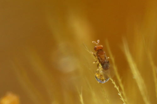 Tiny wasp in Everlasting seeds