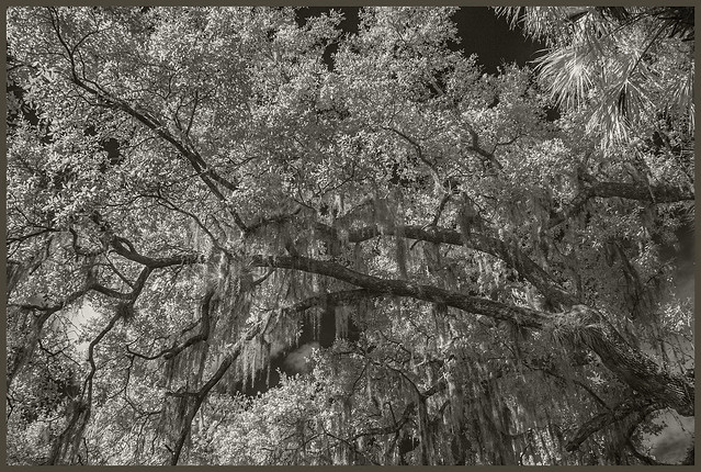 Blue Springs IR #38 2019; Oaks with Spanish Moss