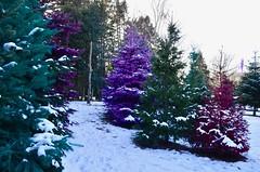Dart's Christmas Tree Farm
