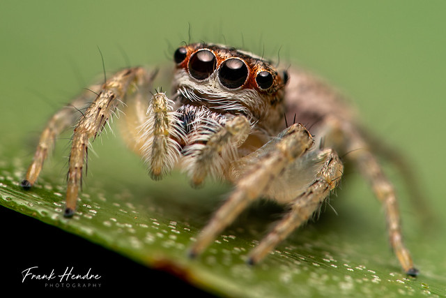 Jumping spider (Opisthoncus sp)