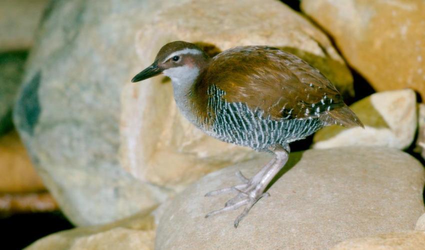 關島秧雞過去已經在野外滅絕,透過人工繁殖計畫得以維持族群。照片來源:世界自然保育聯盟(IUCN)