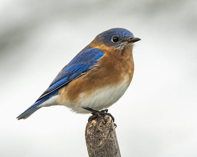 Bluebird-4110