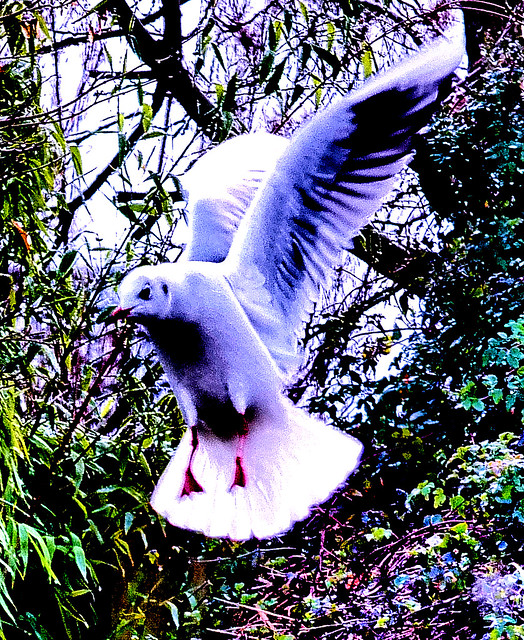 Blackheaded Gull flight
