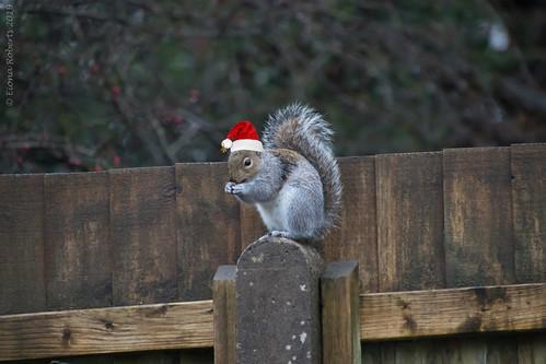 Festive Squirrel on my garden fence