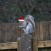 Festive Squirrel on my garden fence