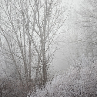 Frost, fog and Birch Trees