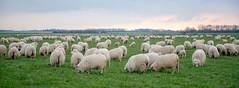 sheep, herd, field, gras, landscape