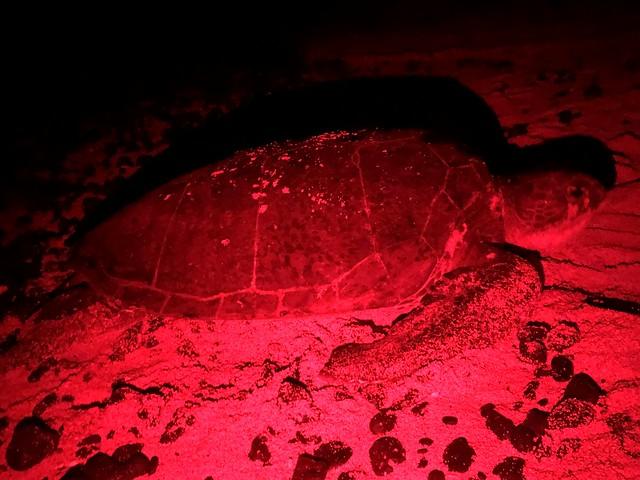 Tortuga marina en pleno desove en Santo Tomé y Príncipe