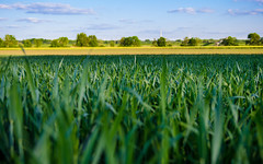 corn, fields, agriculture, wheat, plants, growth