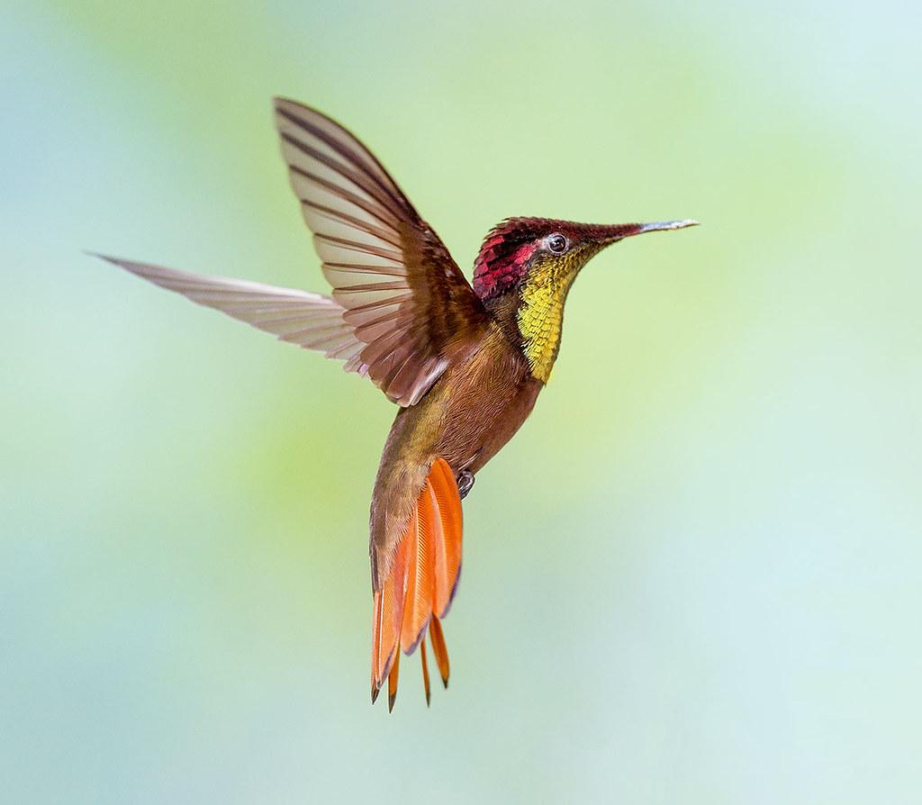 Ruby Topaz Hummingbird in flight dancing in the air, Tucusito Rubi, Trinidad. Chrysolampis mosquitus.