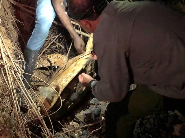 Ayudando a una tortuga marina (Carey) enredada en unas raíces (Santo Tomé y Príncipe)