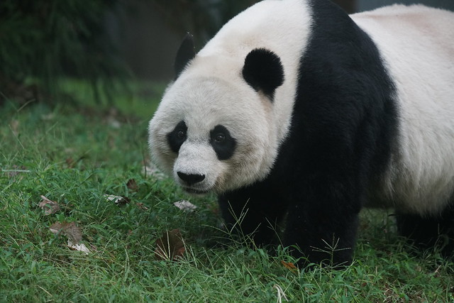Mei Xiang (美香) 2019-10-07