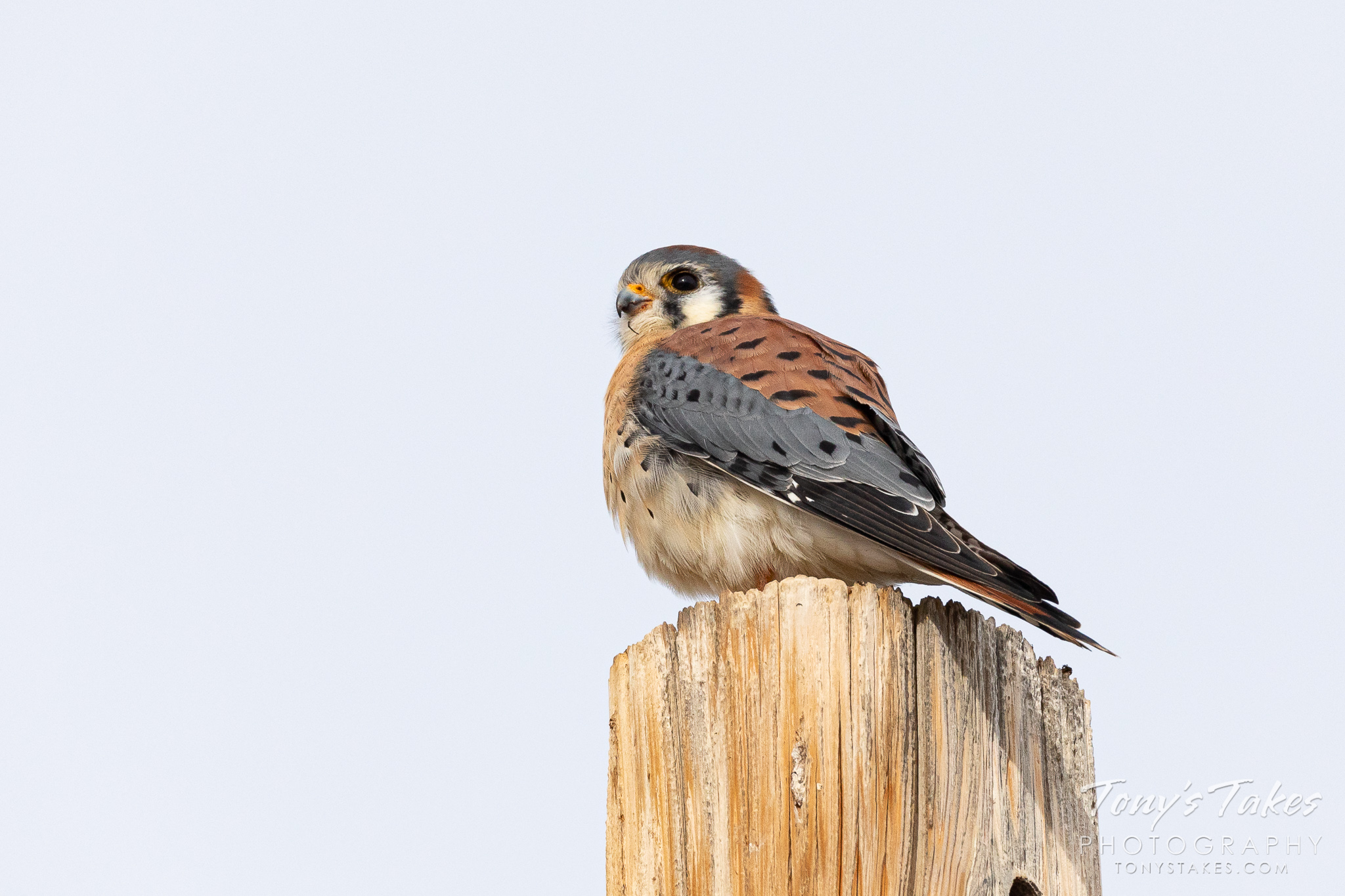 A male American kestrel keeps watch from a pole. (© Tony's Takes)