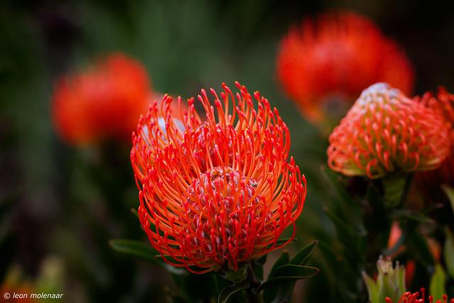 Flowers (Nodding Pincushion)