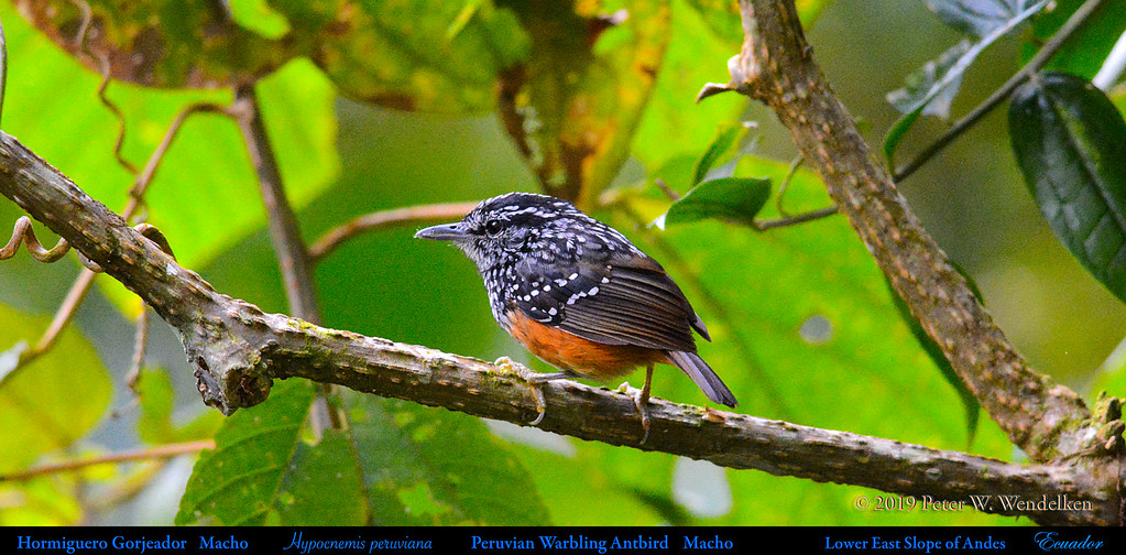 PERUVIAN WARBLING-ANTBIRD Male Hypocnemis peruviana on the Eastern Slope of the Andes in Ecuador. Photo by Peter Wendelken.
