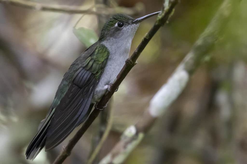 Campylopterus largipennis / Gray-breasted Sabrewing