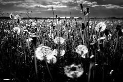 field, flower, gras, löwenzahn, maedow, wildflower