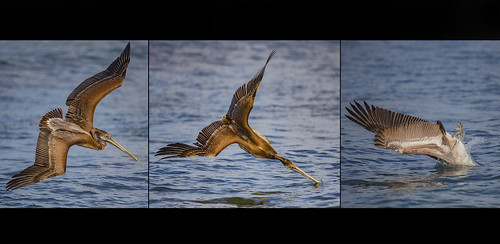 Pelican Fish Attack Sequence