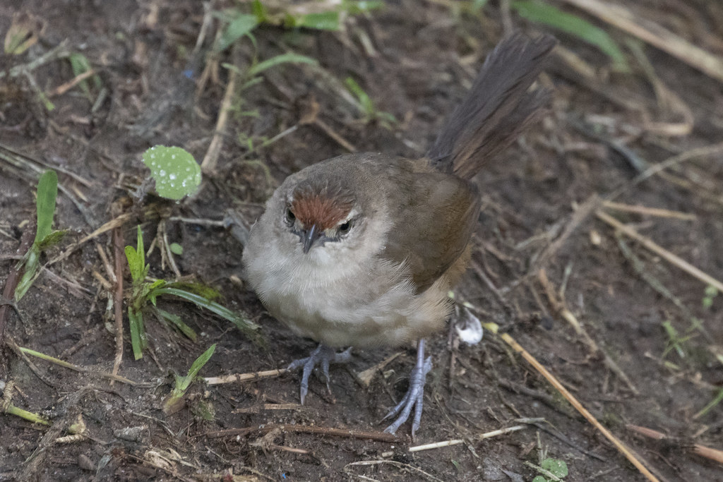 Phacellodomus rufifrons / Rufous-fronted Thornbird