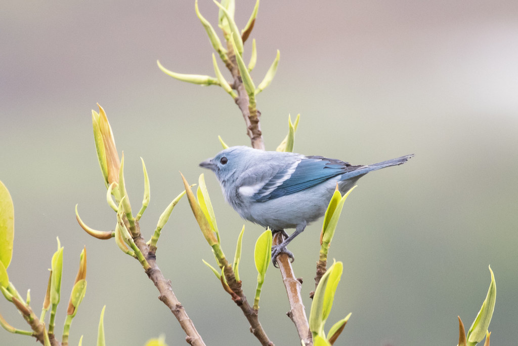 Thraupis episcopus / Blue-gray Tanager