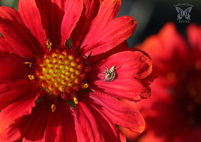 'Mesa Red' Gaillardia brings intense red color to a garden quickly and blooms over a long season, all the way until first frost.