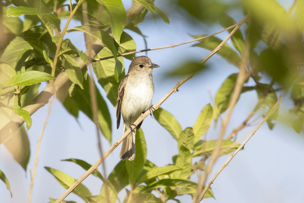 Phaeomyias murina / Mouse-colored Tyrannulet