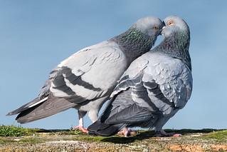 Dove Love!
