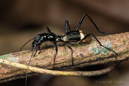 Ant-mimic Tiger Beetle