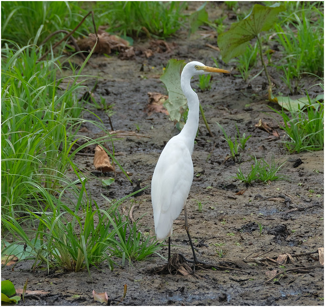 Eastern Great Egret - Fogg Dam Conservation Reserve, Middle Point, Nothern Territory, Australia