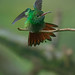 Rufous-tailed Hummingbird Does A Wing And Tail Stretch While Perched