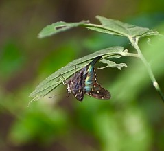 Saltarina coluda azul