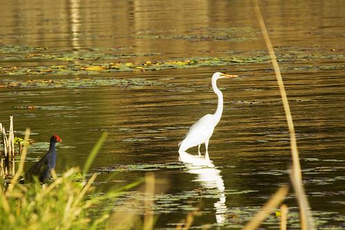 white heron and moorehen