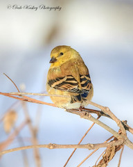 ABD_8104 American Goldfinch