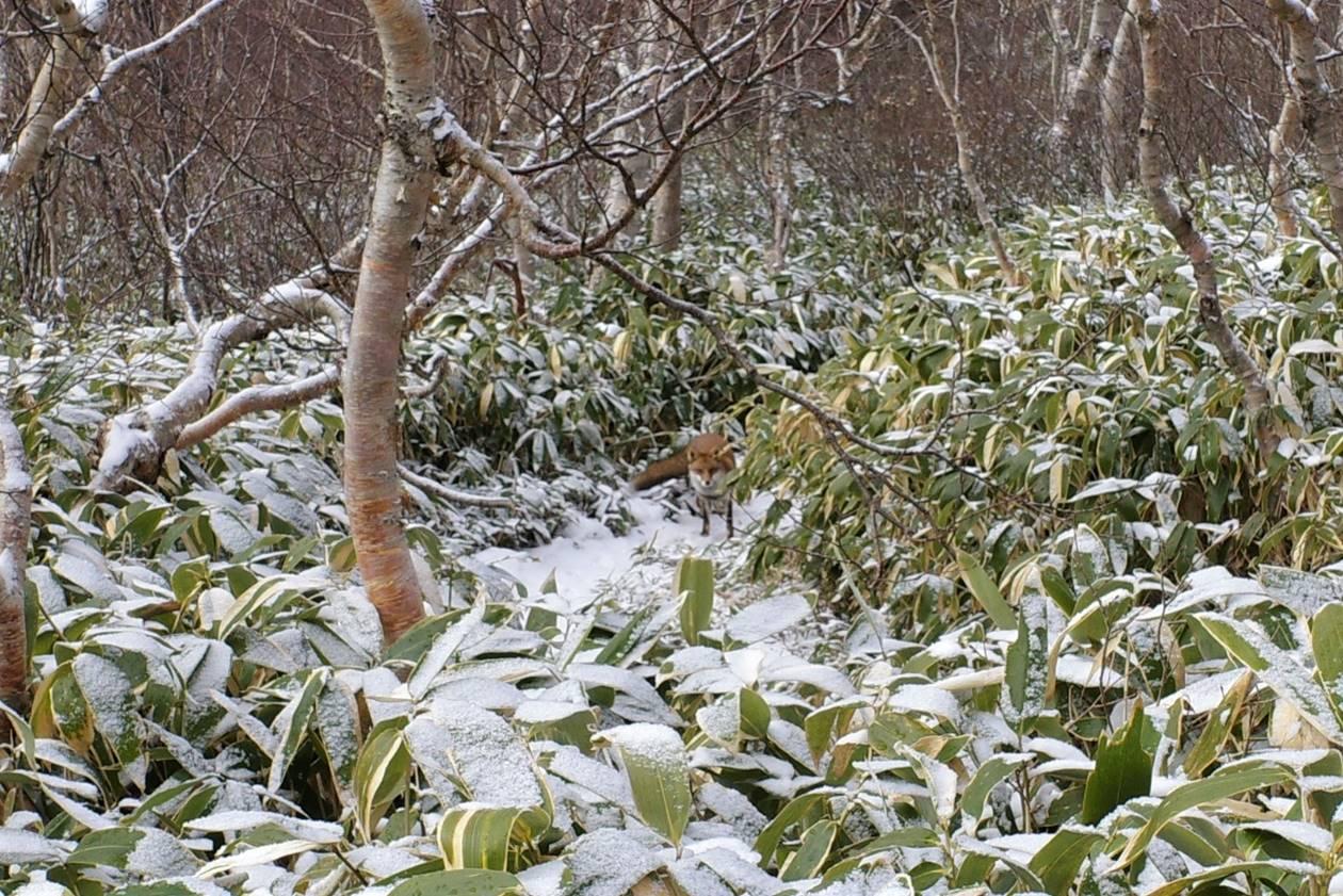 飯縄山で出会ったキツネ