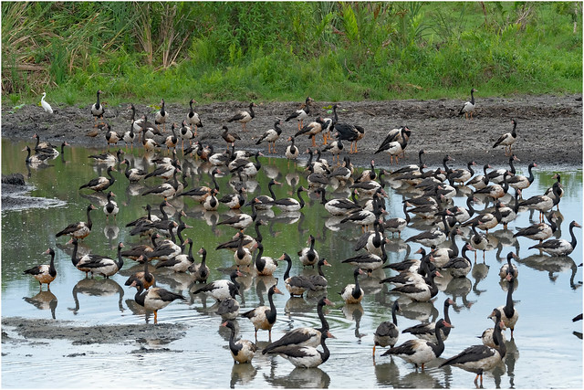Magpie Geese gathering - Fogg Dam Conservation Reserve, Middle Point, Nothern Territory, Australia.