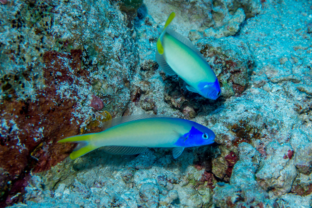 Bluehead Tilefish