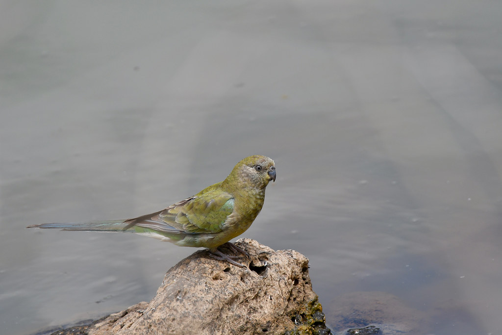Red - rumped Parrot ( Female )
