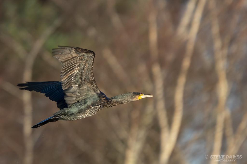 Cormorant ( Phalacrocorax carbo )
