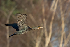Cormorant ( Phalacrocorax carbo )