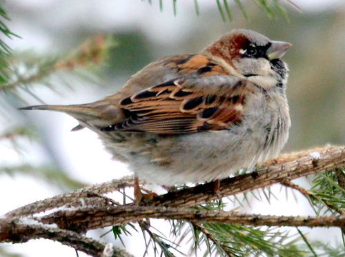 The fat sparrow | by irio.jyske
