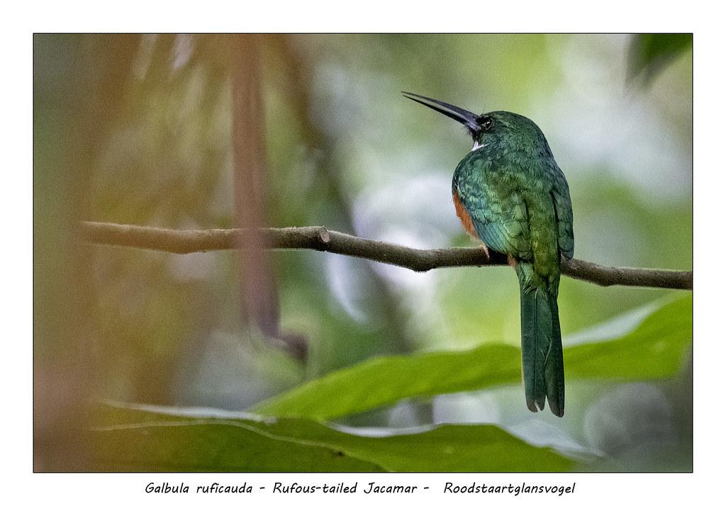 Rufous-tailed Jacamar #2