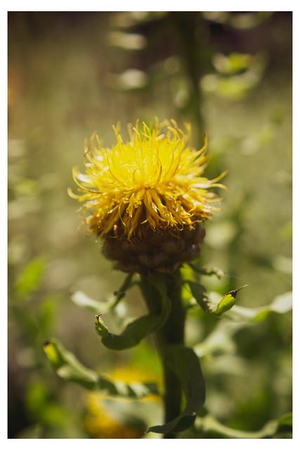 A Ball of Golden Summer - Chanticleer - Wayne PA_Web 1-E_Scaled