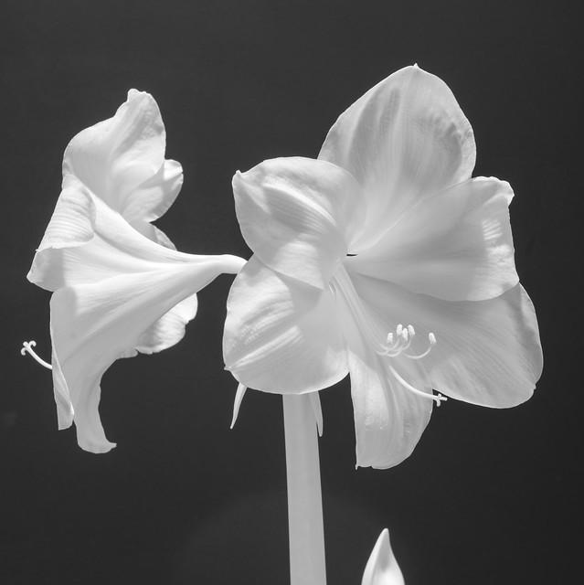 Amaryllis - infrared